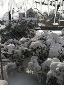 2013 Blizzard, Nemo. My poor Azalea *trees*