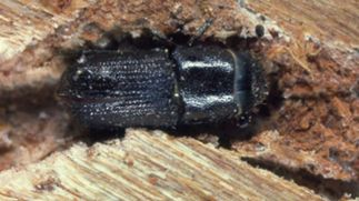 Southern Pine Beetle (photo courtesy of NYSDEC)